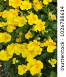 Yellow Pansy Flower In The...