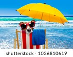 close up of  jack russell dog... | Shutterstock . vector #1026810619