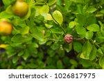 orange mandarin on the tree....   Shutterstock . vector #1026817975