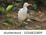 the eastern great egret  ardea...   Shutterstock . vector #1026821809