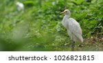 the eastern great egret  ardea...   Shutterstock . vector #1026821815