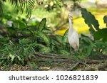 the eastern great egret  ardea...   Shutterstock . vector #1026821839