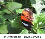 heliconius melpomene malleti ... | Shutterstock . vector #1026839251