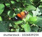 heliconius melpomene malleti ... | Shutterstock . vector #1026839254