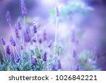 Lilac Lavanda Flowers. Vintage...