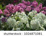White And Pink Phlox Flower...