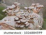 oyster mushroom cultivated in... | Shutterstock . vector #1026884599