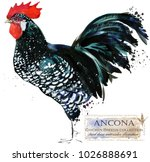 ancona rooster. poultry farming.... | Shutterstock . vector #1026888691