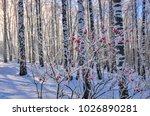 viburnum bush with red berries... | Shutterstock . vector #1026890281
