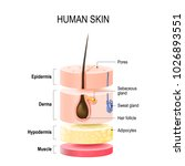 layers of human skin with hair... | Shutterstock . vector #1026893551