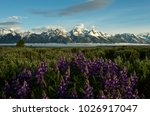 lupine and the grand tetons ... | Shutterstock . vector #1026917047
