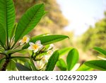 blooming flowers a background....   Shutterstock . vector #1026920239