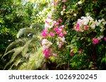 blooming bougainvillea. magenta ...   Shutterstock . vector #1026920245