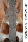 Funny Red Squirrel Sits On...