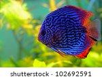Blue Discus Fish In The Aquarium