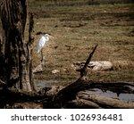 egret at ranathanbore national...   Shutterstock . vector #1026936481