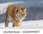 siberian tiger  panthera tigris ... | Shutterstock . vector #1026949057