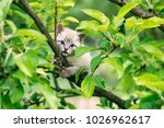 Stock photo small kitten with blue ayes stuck on green tree on garden animal photography 1026962617