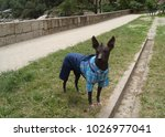 hairless peruvian dog dressed... | Shutterstock . vector #1026977041