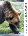 brown bears are one of the...   Shutterstock . vector #1026986221