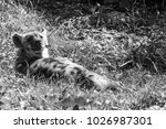 the spotted hyena is a highly...   Shutterstock . vector #1026987301