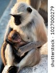 lost in thought langur monkey...   Shutterstock . vector #1027000279