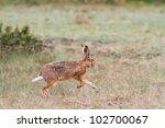 Stock photo wild hare running 102700067