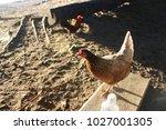 mama chicken sitting next to me   Shutterstock . vector #1027001305