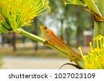 chameleon in thailand | Shutterstock . vector #1027023109