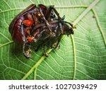 xylotrupes gideon  siamese... | Shutterstock . vector #1027039429