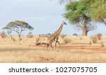 closeup of masai giraffe ...   Shutterstock . vector #1027075705