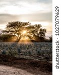 sunset in the agave fields  the ...   Shutterstock . vector #1027079629