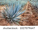 blue agave fields for the... | Shutterstock . vector #1027079647