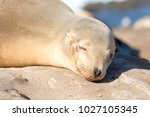 baby sea lion sunbathing at the ...   Shutterstock . vector #1027105345