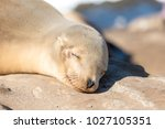 baby sea lion smiling   Shutterstock . vector #1027105351
