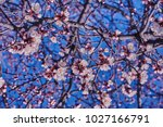 Small photo of Branchs of blossoming apple tree on sky background. Instagram stily. Spring blossoms with nice background color for adv or others purpose use. Blossom with blue sky. Natural background. Toned image.