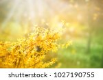 forsythia flowers in front of... | Shutterstock . vector #1027190755