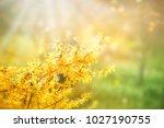 forsythia flowers in front of... | Shutterstock . vector #1027190755