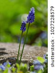 Blue Petals Of Muscari  Grape...