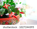 Schlumbergera Red Flowers....