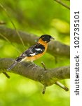 Small photo of Black-headed Grosbeak (Pheucticus melanocephalus). Black-headed Grosbeak is a medium-size seed-eating bird in the same family as the Northern Cardinal, the Cardinalidae.