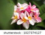 frangipani flowers close up... | Shutterstock . vector #1027374127