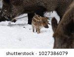 baby boar in the snowy forest.   Shutterstock . vector #1027386079