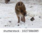 baby boar in the snowy forest.   Shutterstock . vector #1027386085