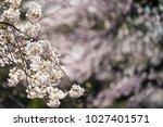 branch of cherry blossom  high... | Shutterstock . vector #1027401571