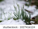 galanthus nivalis  common... | Shutterstock . vector #1027416124