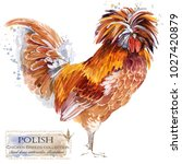 polish rooster. poultry farming.... | Shutterstock . vector #1027420879