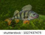 Small photo of Fishing. Live perch fish isolated on natural green background