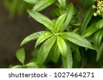 Small photo of Lemon verbena's green leaves (Aloysia citrodora)