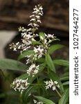 Lemon Verbena's White Flowers ...